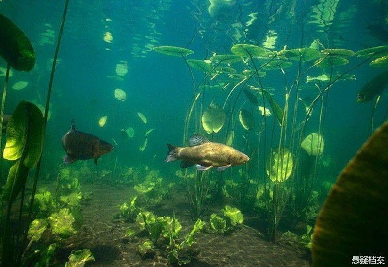 (点小图查看大图) 光影,波光,鲈鱼,水下植物形成非常奇幻的画面.