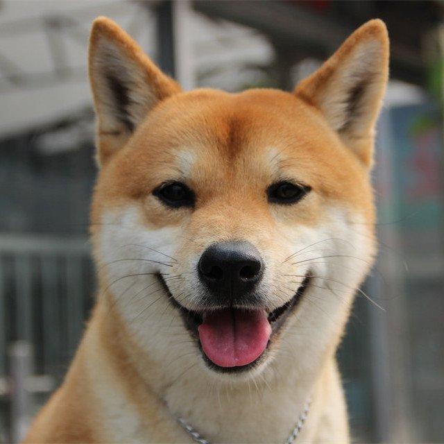 柴犬简笔画图片