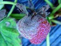 草莓灰黴病