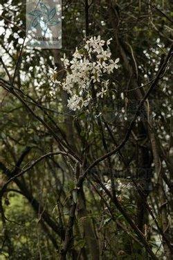 莓叶铁线莲clematis rubifolia