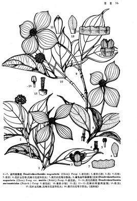 常绿小乔木或灌木,高3-12米;树皮深灰色或黑褐色