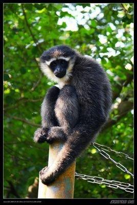 保护区内的白眉长臂猿数量由于野生动物保护法的宣传