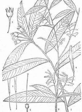花树风景图片铅笔彩画