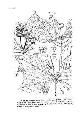 手绘芹菜叶柄的厚角组织细胞结构示意图