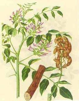 基本信息 中文名称 甘草提取物 药用部位 根及根茎 别名 甜草根,红
