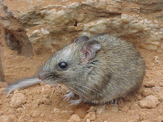 编辑本段 中澳粗尾鼠是世界濒危物种之一,是联合国《濒危野生动物名录