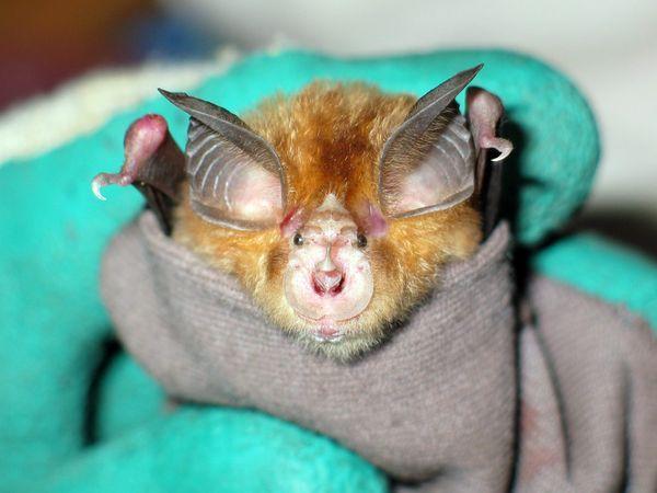 蝙蝠是狂犬病病毒,尼帕病毒,汉塔病毒等许多动物源病毒的重要宿主.