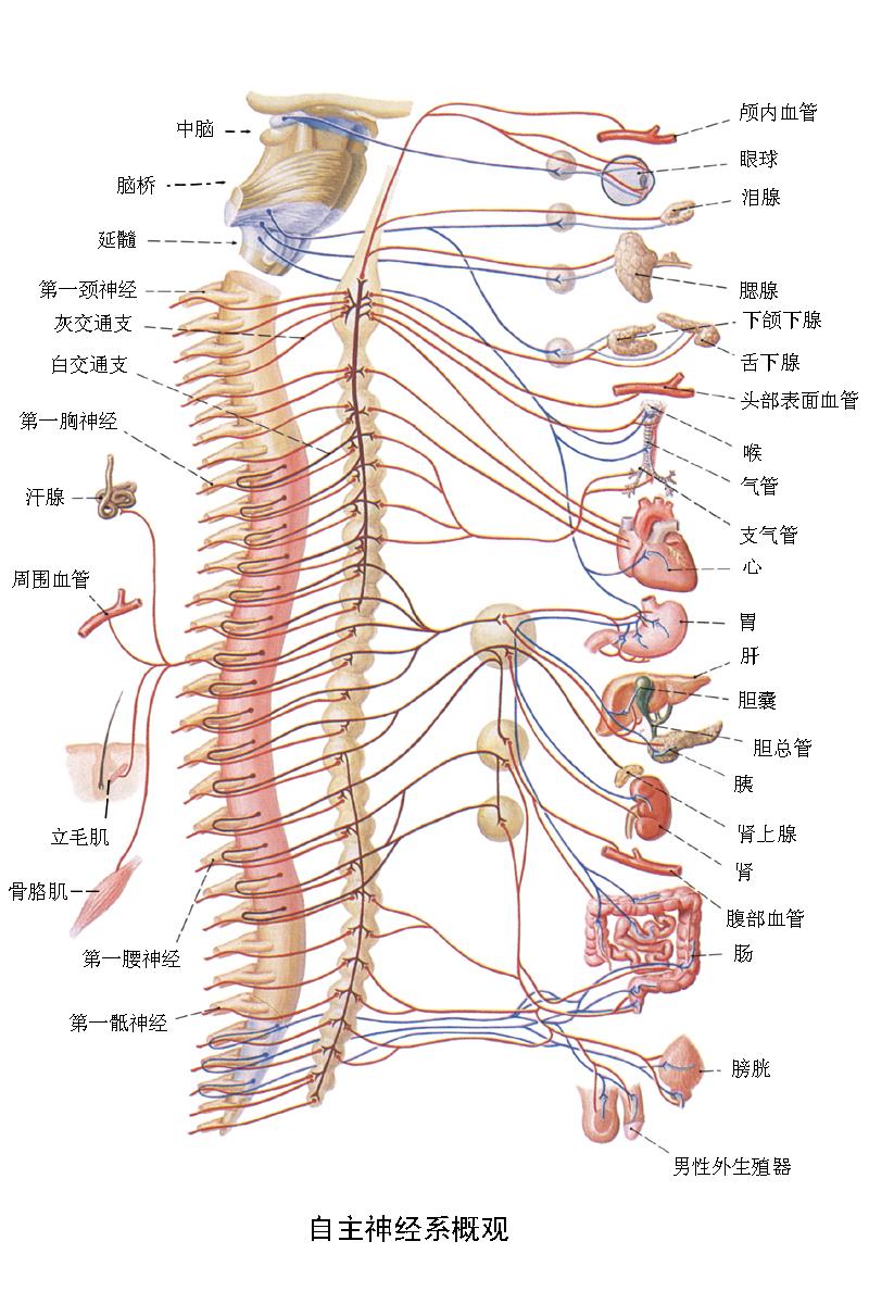 外周传出神经系统的一部分,能调节内脏和血管平滑肌,心肌和腺体的活动
