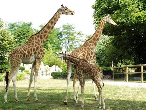 万塞讷动物园里的长颈鹿