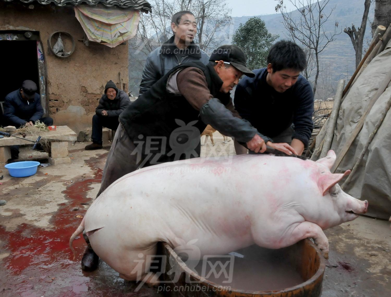 猪吃饭的图片可爱图片
