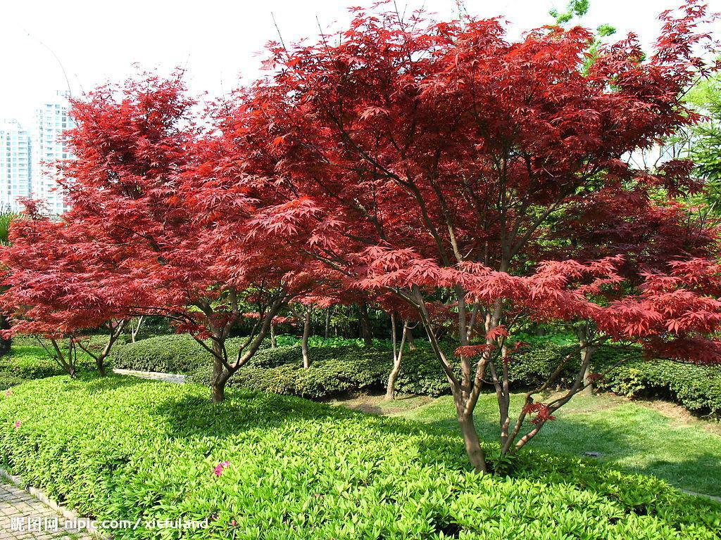 壁纸 枫叶 红枫 树 1024_768
