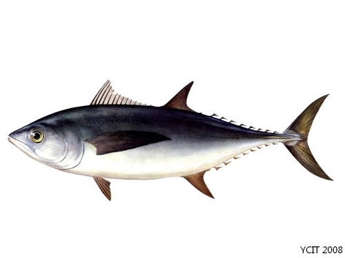 英文名:japanese tuna 俗名:黑鲔 纲目:金枪鱼科 特征介绍折叠 编辑本