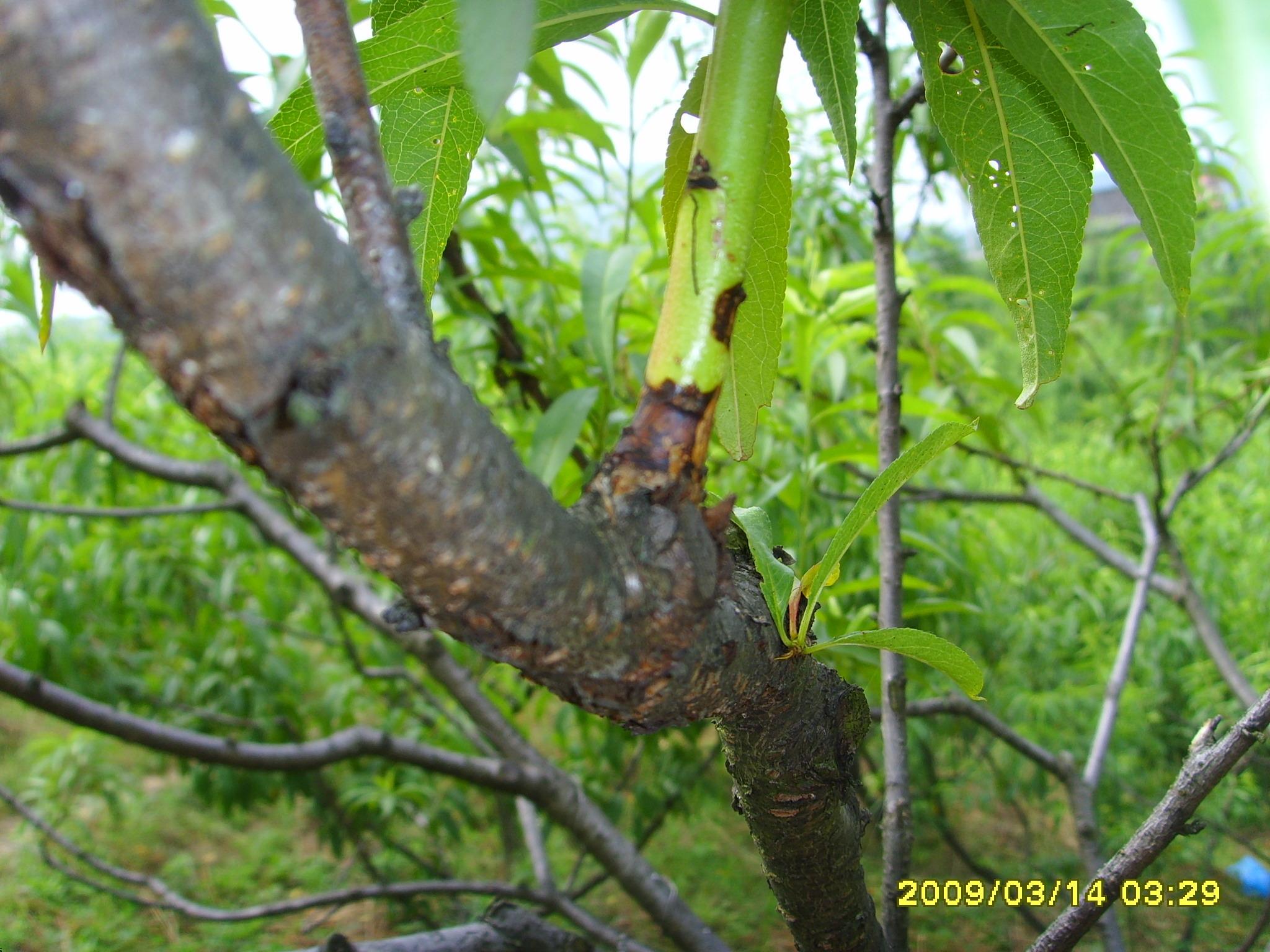 褐腐病主要为害桃树的花,叶,枝干和果实,以果实最重.