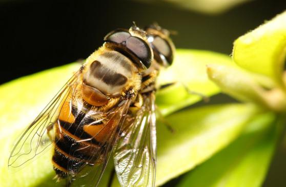 一只蜜蜂毛茸茸的身体上能粘住5万至75万粒花粉