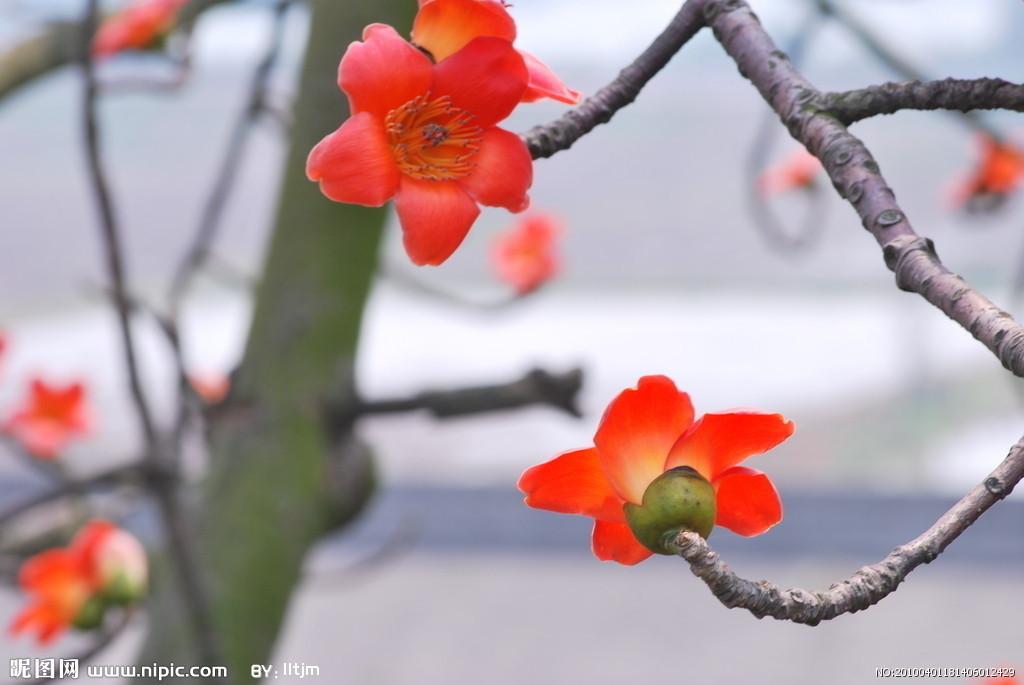 木棉花摄影图__花草_生物世界
