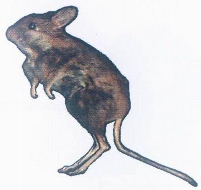 因为鼠类动物有着极强的生存适应能力和极高的繁殖能力.